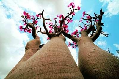 岛上最大的一片龙血树集中在菲尔米辛地区,就位于尼哈和梅塔加尔的